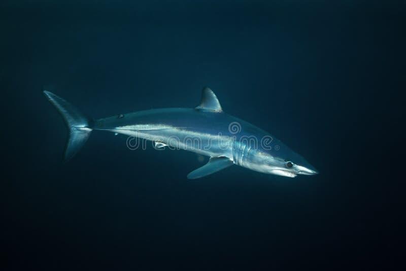 Tubarão de Mako, paucus do Isurus, África do Sul fotos de stock