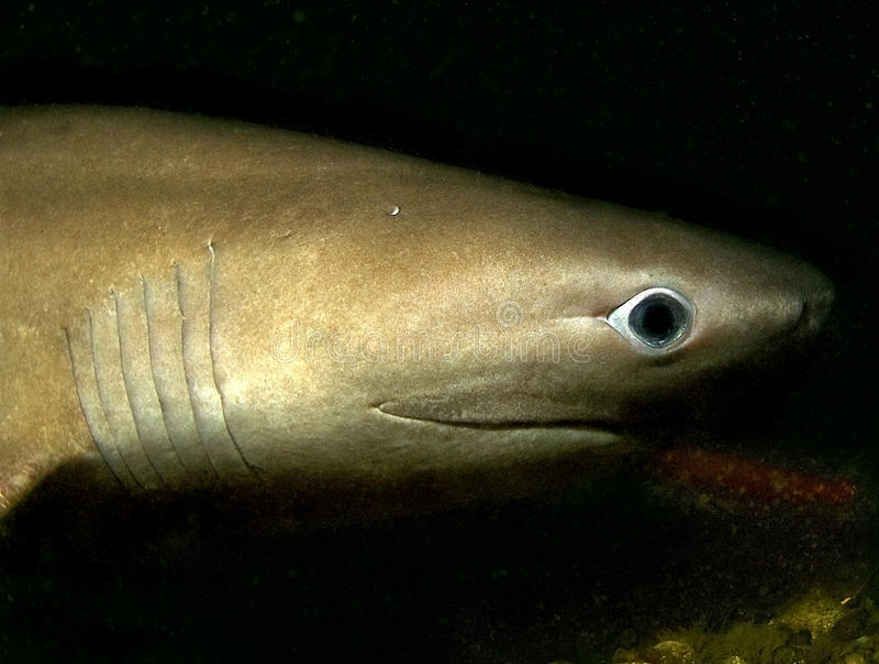 Tubarão de seis brânquias fotografia de stock royalty free