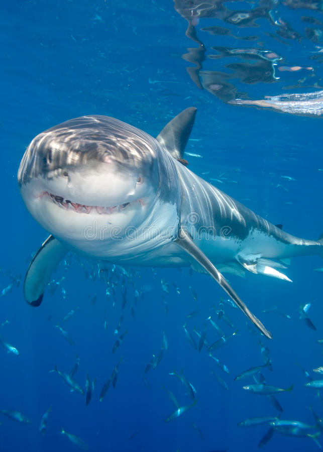 Tubarão de sorriso fotos de stock royalty free