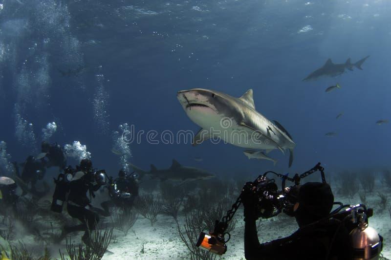 Tubarão de tigre imagem de stock royalty free