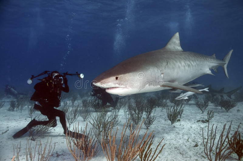 Tubarão de tigre foto de stock royalty free
