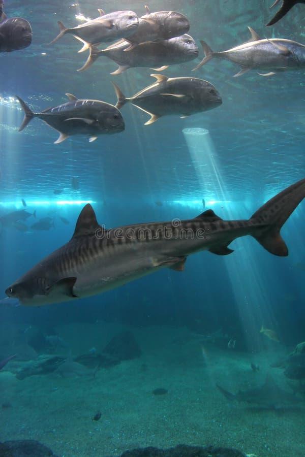 Tubarão de tigre e Trevelly gigante imagens de stock