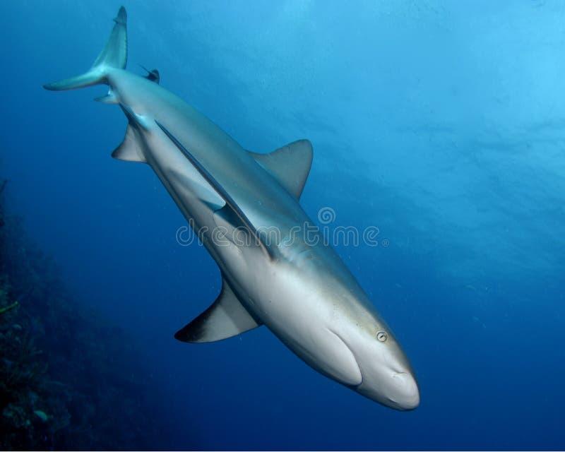 Tubarão do Cararibe do recife foto de stock