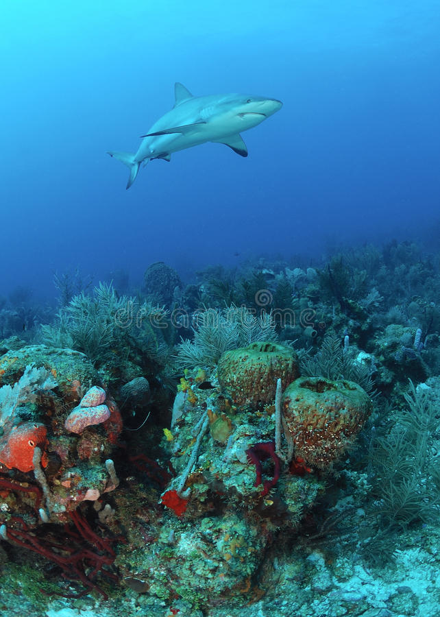 Tubarão do Cararibe do recife fotos de stock royalty free