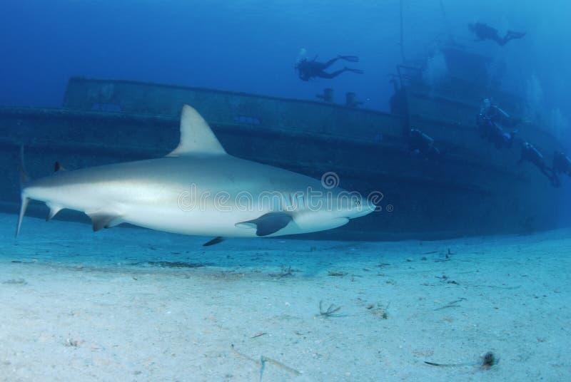 Tubarão do Cararibe do recife imagem de stock royalty free