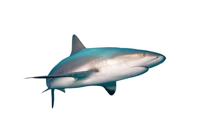 Tubarão do Cararibe do recife bahamas fotografia de stock