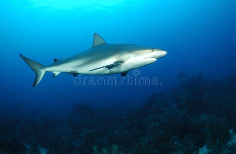 Tubarão do recife fotografia de stock