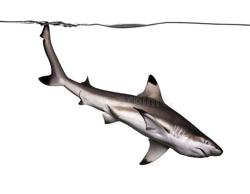 Tubarão do recife de Blacktip que nada para baixo foto de stock