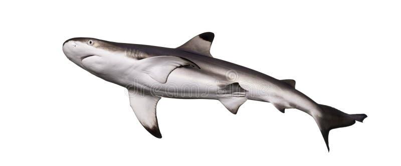 Tubarão do recife de Blacktip visto de baixo de imagens de stock royalty free