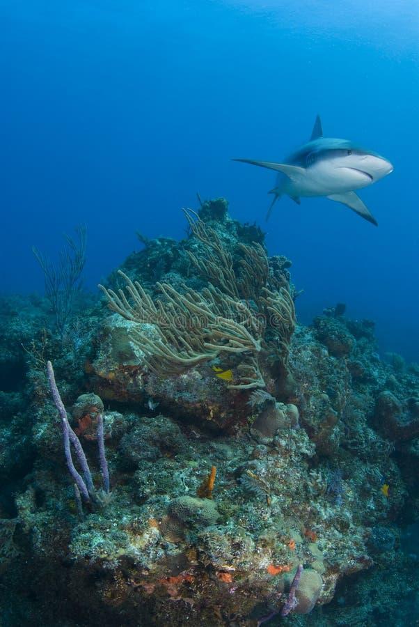 Tubarão do recife largo imagens de stock royalty free
