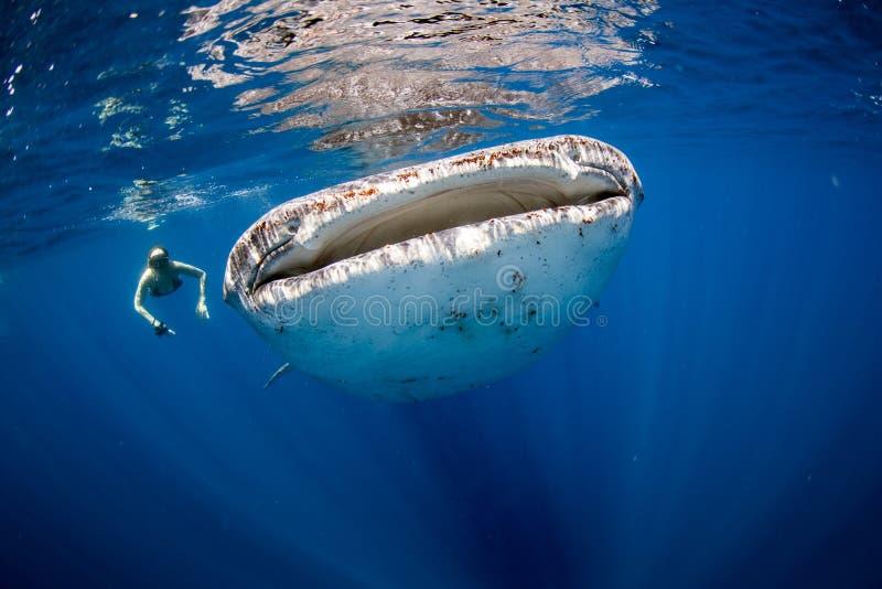 Tubarão e nadador de baleia fotos de stock royalty free