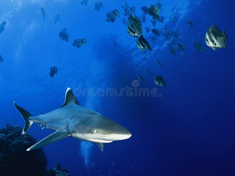 Tubarão e peixes no oceano fotos de stock royalty free