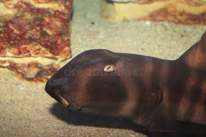 Tubarão japonês do peixe-gato fotos de stock royalty free