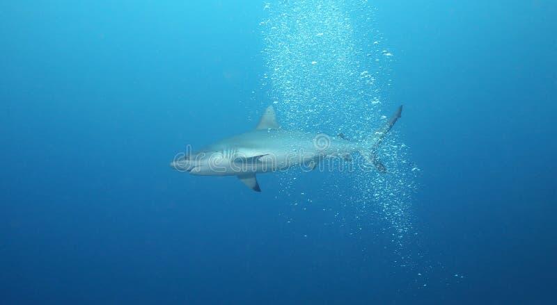 Tubarão na água aberta fotografia de stock