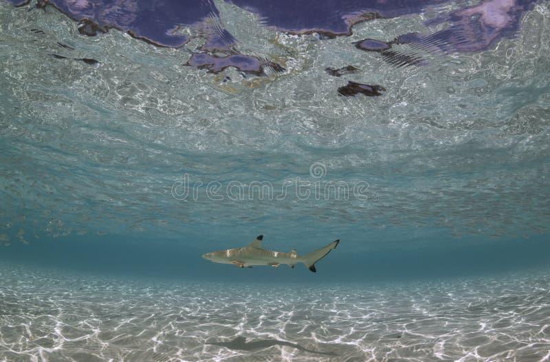 Tubarão próximo de Maldivas fotografia de stock