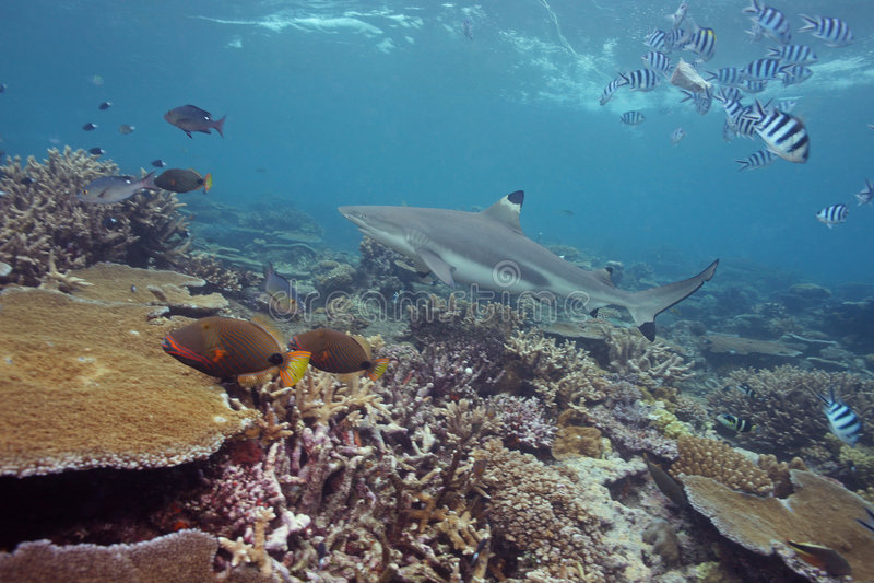 Tubarão preto da ponta foto de stock