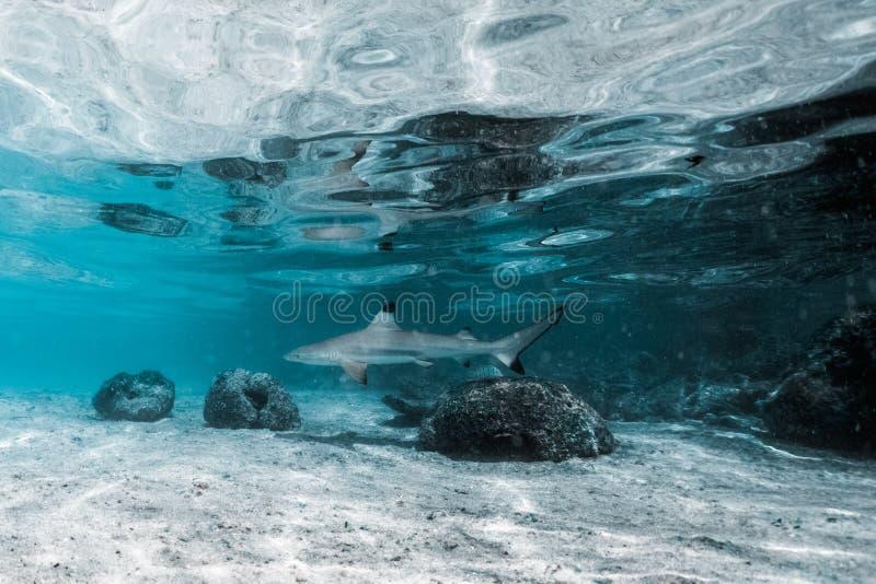 Tubarão preto do recife da ponta imagens de stock