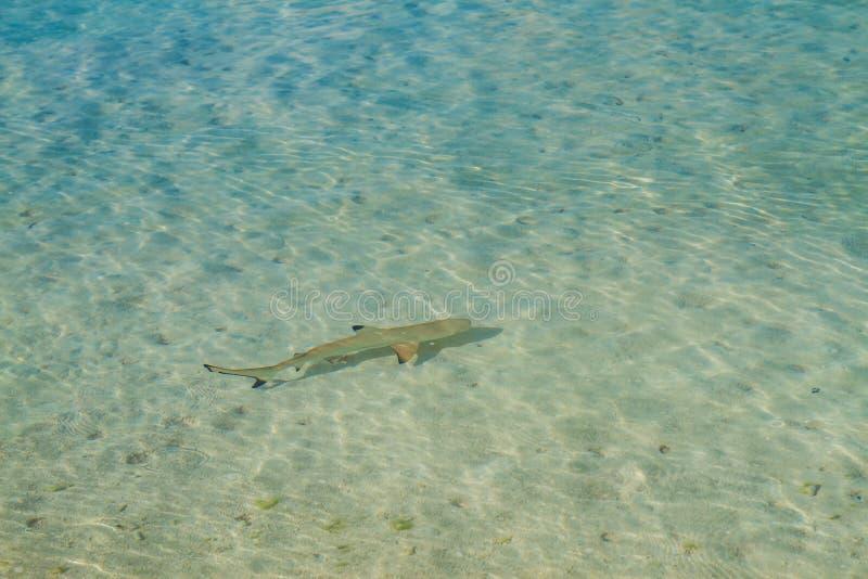 Tubarão preto do recife da ponta imagem de stock