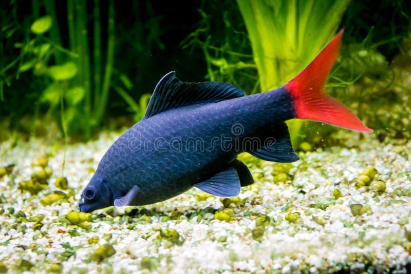 tubarão preto Vermelho-atado Epalzeorhynchos bicolor; Labeo bicolor imagens de stock royalty free