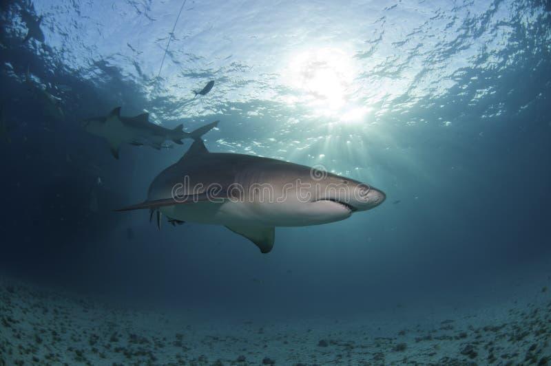 Tubarão Sunlit imagem de stock