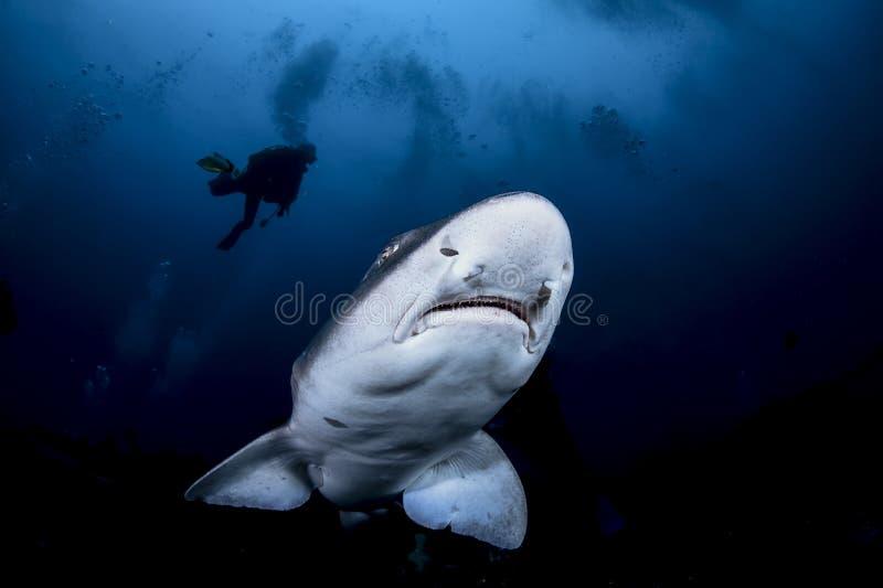 Tubarão unido do cão e mergulhador mostrado em silhueta na água azul aberta imagens de stock royalty free