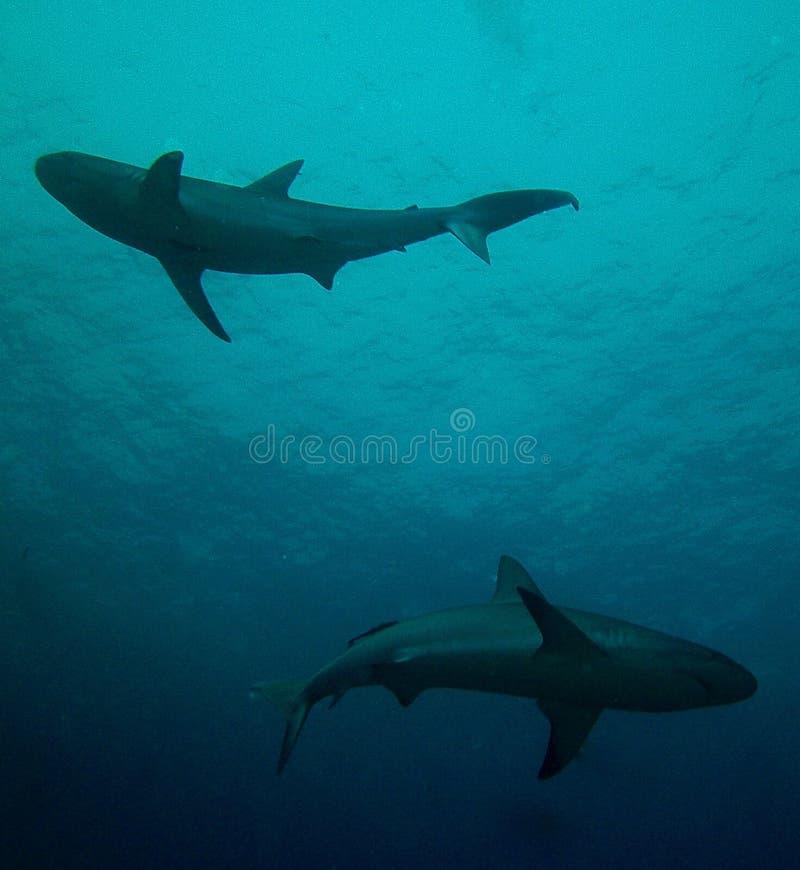 Tubarão Yin e Yang do recife fotografia de stock royalty free