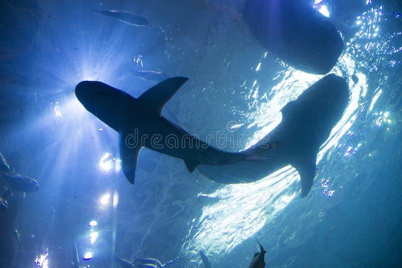 Tubarões de baleia fotos de stock royalty free