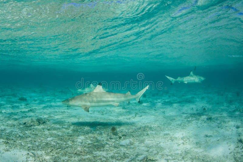 Tubarões de Blacktip 1 imagem de stock
