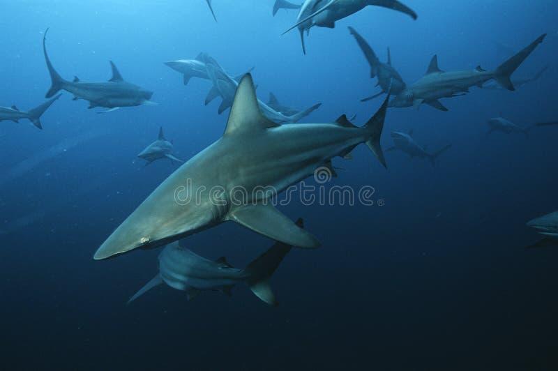 Tubarões de blacktip de África do Sul do Oceano Índico do banco de areia de Aliwal (limbatus do Carcharhinus) que nadam no oceano fotos de stock