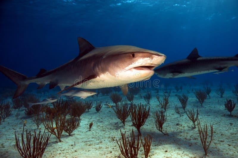 Tubarões de tigre fotografia de stock royalty free