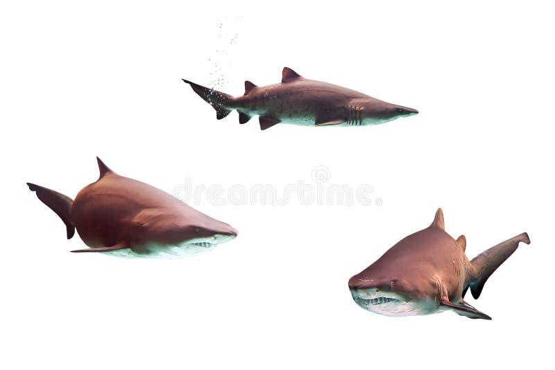 Tubarões de touro perigosos fotos de stock