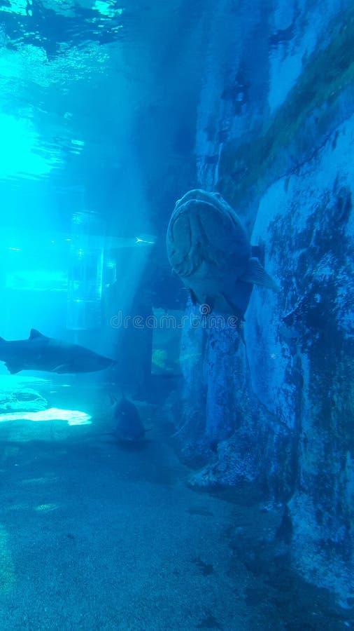 Tubarões e peixes grandes imagem de stock