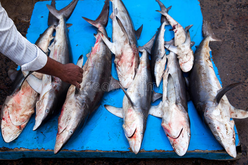 Tubarões no mercado de peixes fotografia de stock