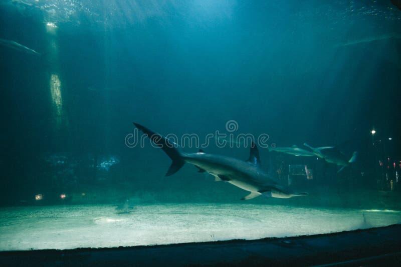 Tubarões perigosos em um grande aquário foto de stock