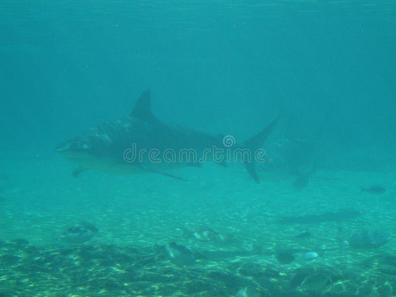 Tubarões que aparecem na distância fotografia de stock