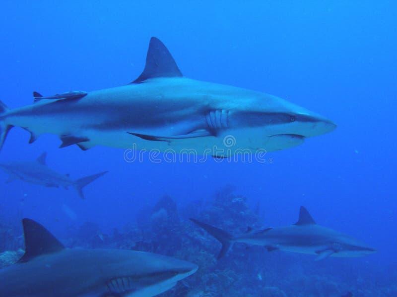 Tubarões que nadam pelo recife