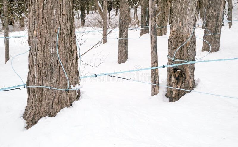 Tubatura e montaggi blu della casa dello zucchero di acero sugli alberi di acero fotografia stock libera da diritti