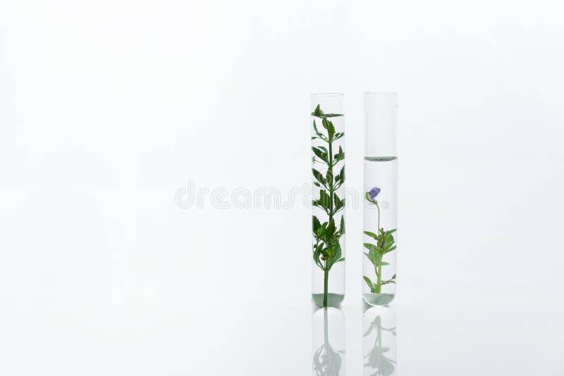 Tube à essai deux en verre scientifique avec la plante verte et la fleur pourpre à l'arrière-plan blanc cosmétique de laboratoire images libres de droits