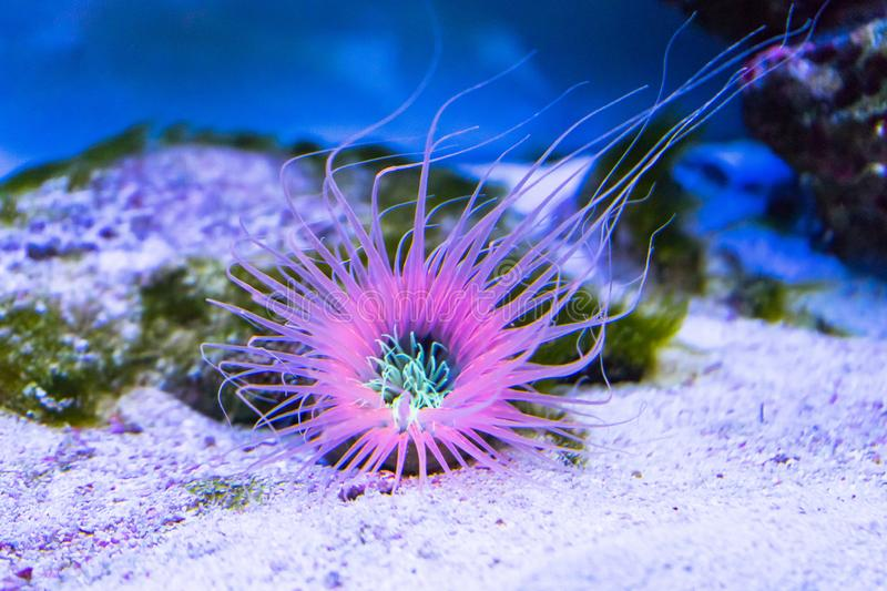 Tube anemone on the sand bottom royalty free stock images