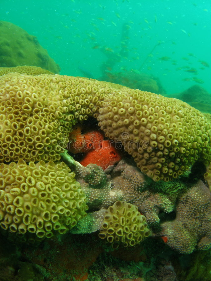 Tube Coral and Orange Boring Sponge. This is tube coral with orange boring sponge growing out of the side. This shot was taken at about 17 feet, right off the stock image