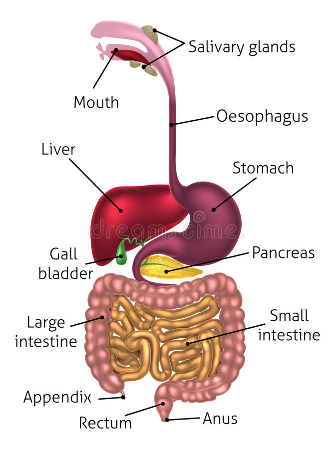 Tube digestif anatomique de diagramme illustration stock