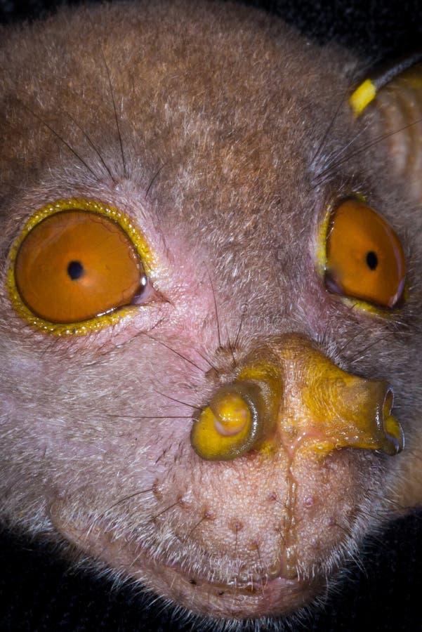 Tube-nosed bat,closeup stock image