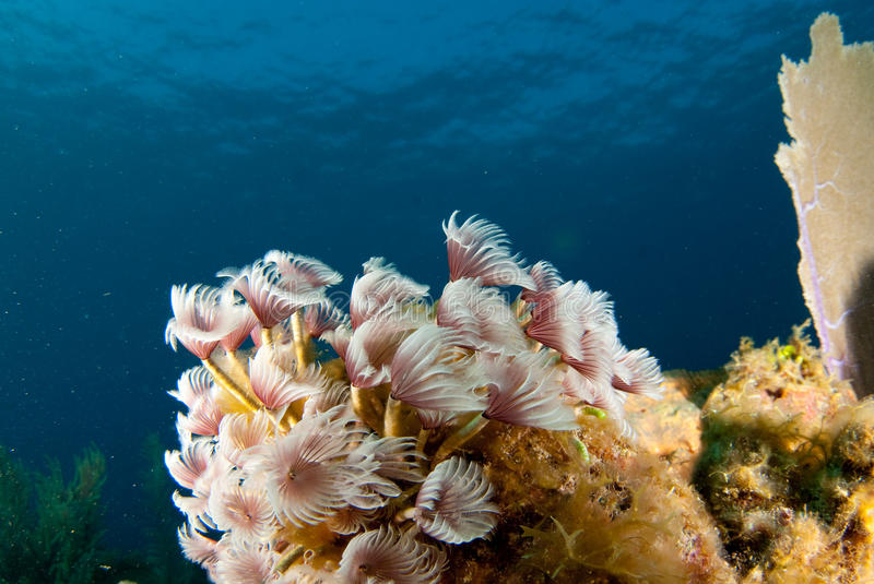 Tube worm cluster royalty free stock photography