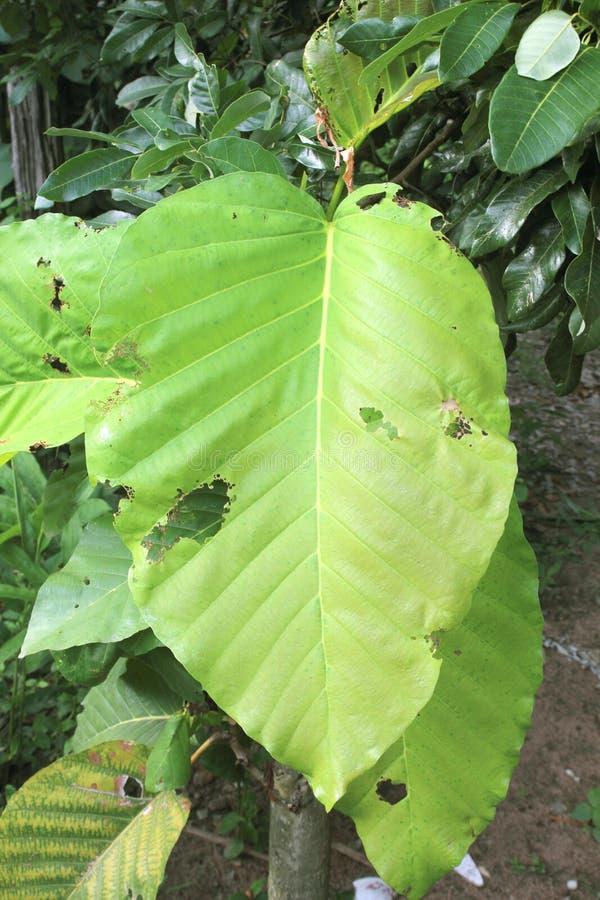Tuberculatus Roxb de Dipterocarpus dans la forêt Thaïlande photographie stock