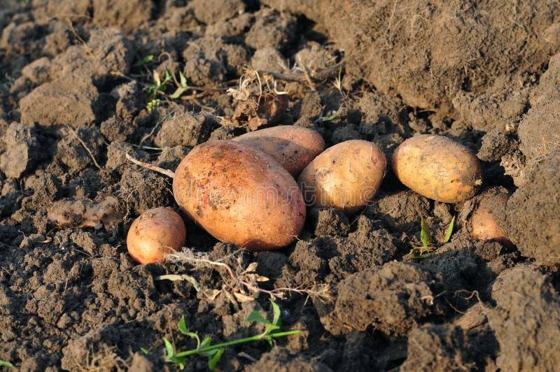 Tuberi della patata immagine stock