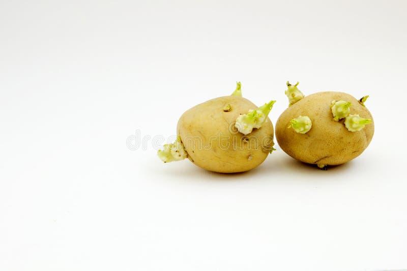 Tuberi della patata di germogliatura fotografia stock libera da diritti