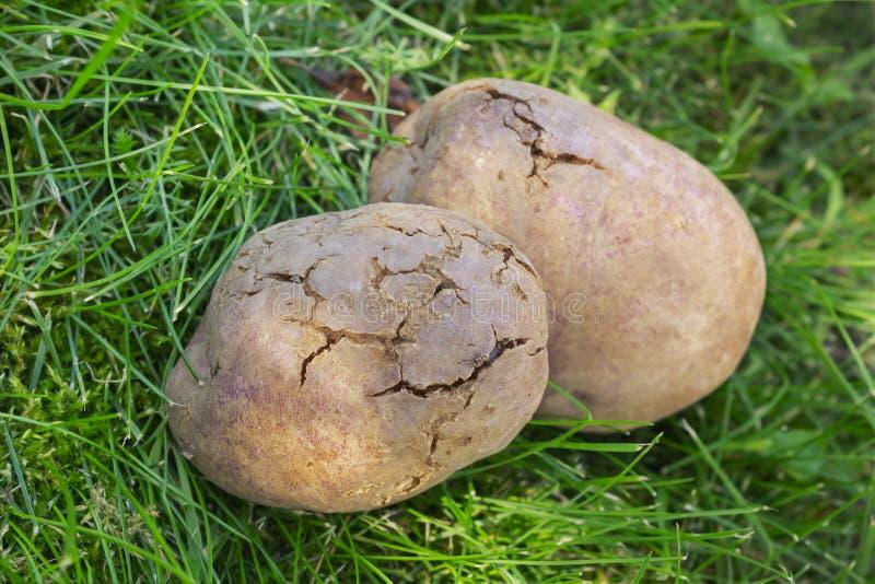 Tuberi della patata infettati con decadimento batterico fotografia stock