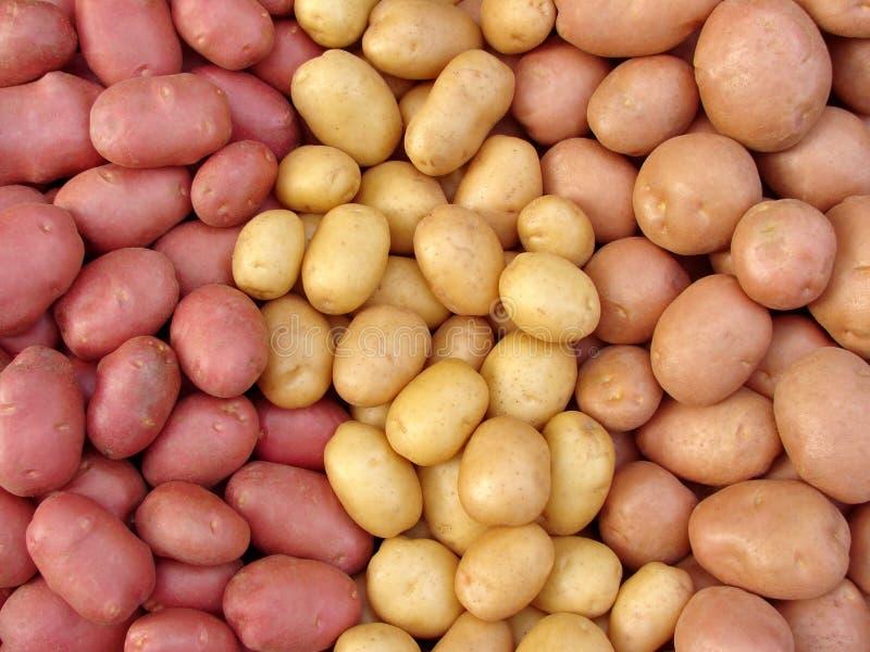 Tuberi raccolti della patata immagini stock libere da diritti