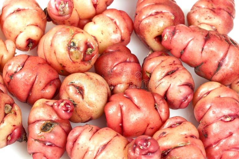 Tuberi rosa di oca immagini stock