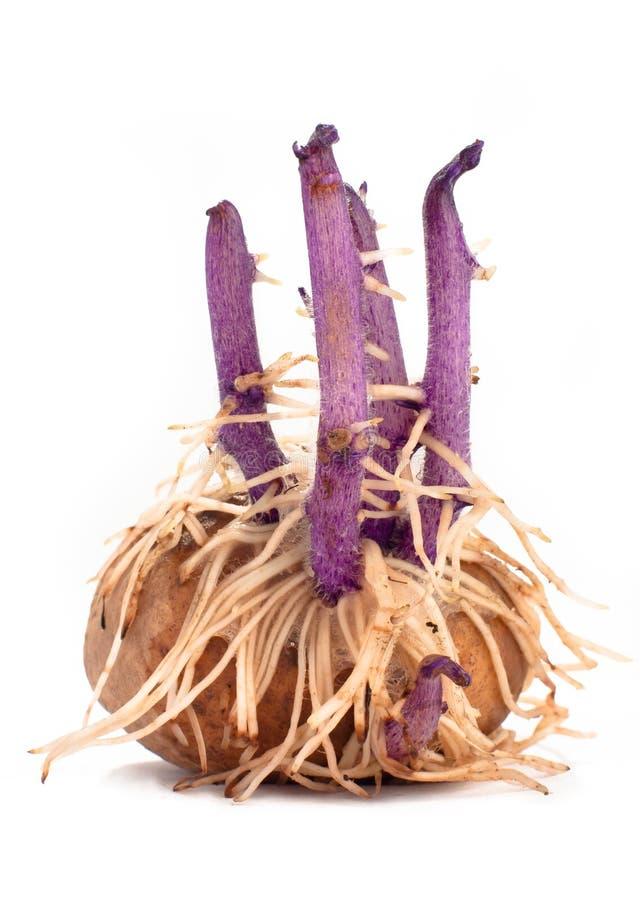 Tubero della patata con i germogli e le radici su fondo bianco immagine stock libera da diritti